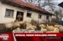 Koyunların İronik Pandemi İhlali / Video
